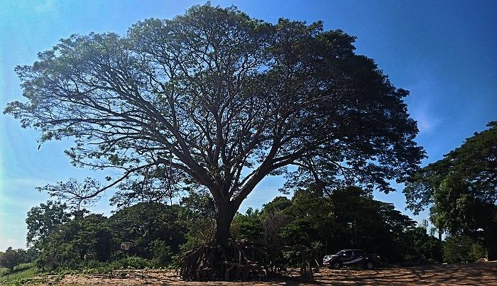 mächtiger Baum mit ausgewaschenen Wurzel