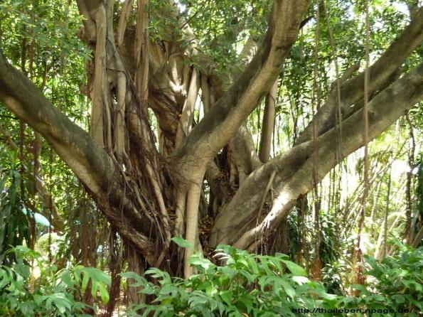 astverzweigung grosser Baum