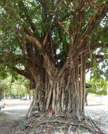 grosser boddibaum