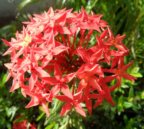 rote kleine blüten