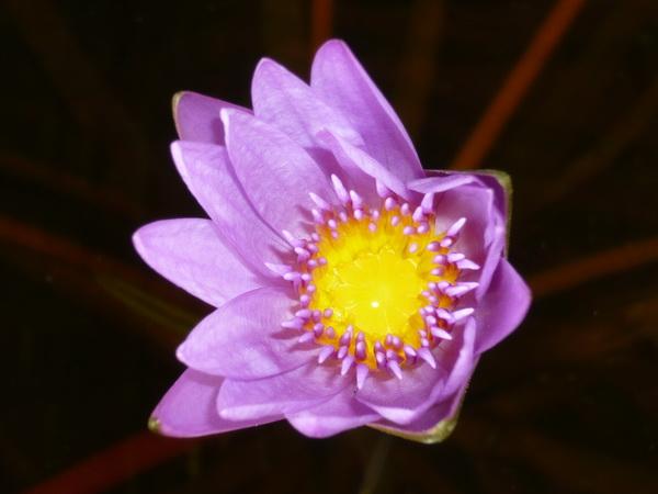 lila gelb seerose