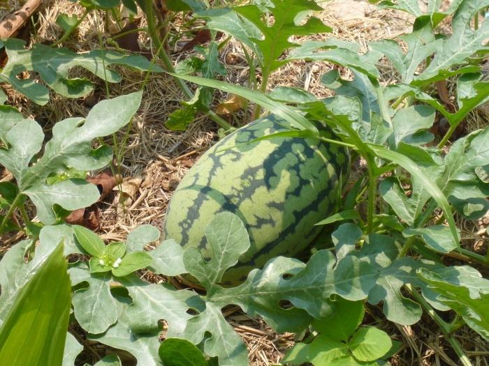 melone am busch
