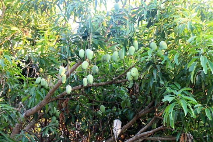 mango am Baum