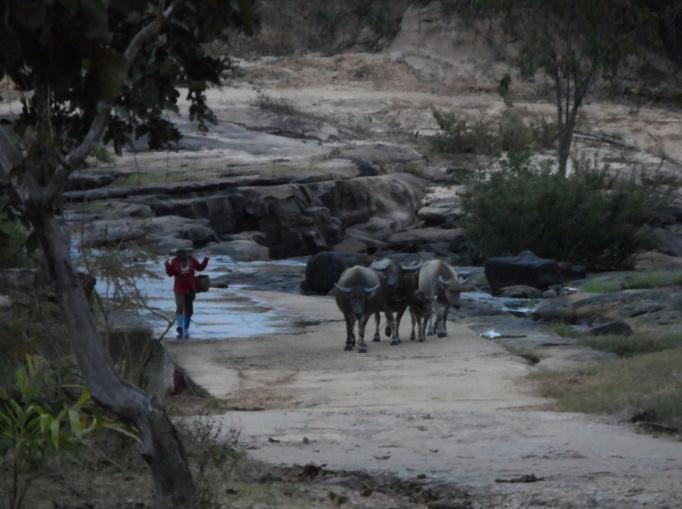 Frau am fluss mit Wasserbüffel