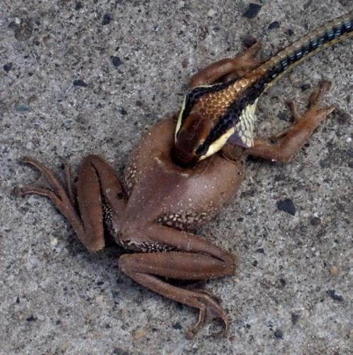 schlange frisst frosch